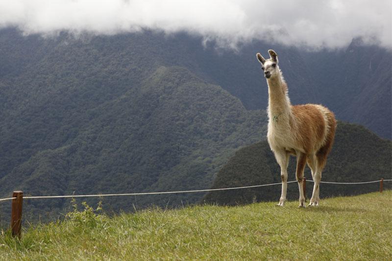 Lama na Machu Picchu